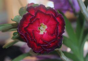 Pandemia impulsionou vendas da flor.