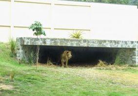 Em tratamento preventivo, leão do 'Parque da Bica' passa por exames