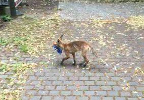Homem nota sumiço de sapatos e descobre que raposa furtou mais de 100 pares