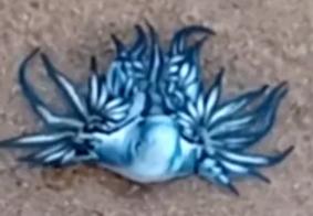 'Dragão azul' é encontrado por salva-vidas em praia de Salvador