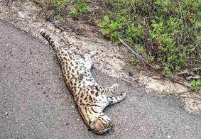 Jaguatirica é encontrada morta em rodovia do interior da Paraíba