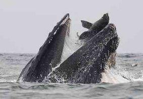 Imagem: fotógrafo flagra momento em que baleia quase engole leão-marinho