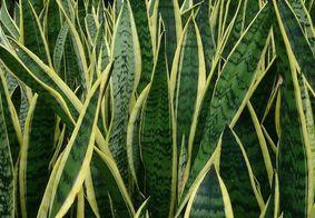 Algumas plantas trazem boas vibrações e prosperidade para o ambiente