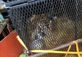 Homens invadem casa para fumar maconha e se deparam com um tigre